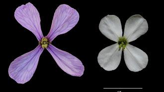 Las flores de primavera y de verano de la Moricandia arvensis