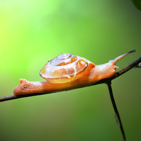 Glowing in the light by Irfan Marindra - Animals Other ( macro, snail )