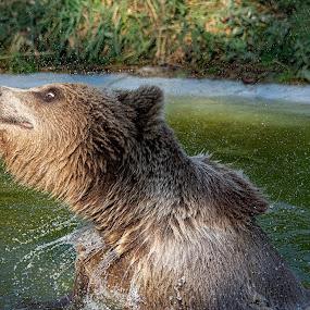 Big Bear Splash! by Fiona Etkin - Animals Other Mammals ( nature, action, animal, brown bear, playing, cooling off, water, splashing about, fun, shaking,  )