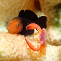 Red Head Goby