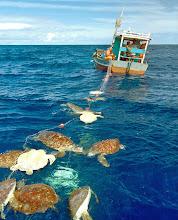 Photo: Credit: Projeto Tamar Brazil.Marine Photobank