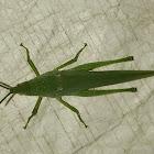 Tobacco grasshopper