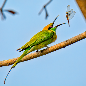 Bee-eater with Catch by Arindam Chakrabarty - Animals Birds ( bird, colourful, nature, beauty, small,  )