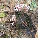 Sandhill Milkweed/Purple Milkweed/ Pineywoods Milkweed