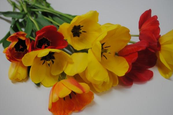 Tulipè di elenissima