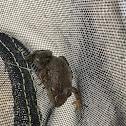American Bullfrog, Immature