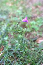 Photo: Campanule à feuilles rondes, Txilinbelarra (Campanula rotundifolia)