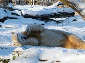Photo: Knut waelzt sich wohlig ;-)
