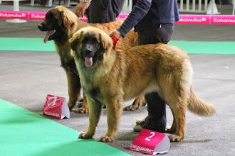 Photo: Meilleur Puppy : Newlook-Nabucco Lowe Vom Bernburgenland & Ibanez de l'Arc en Ciel à Nageoires