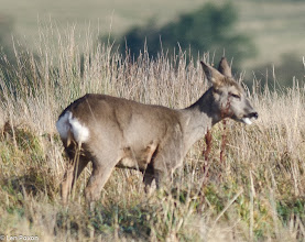 Photo: Roe Deer (f)
