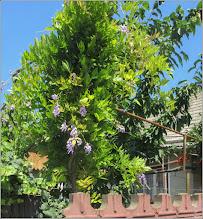Photo: Glicina (Wisteria sinensis)  - din Turda, de pe Str. Petru Maior - 2018.06.20