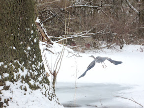 Photo: Heron flying over snow and iced pond at Eastwood Park in Dayton, Ohio.