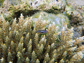Photo: Gobiodon spilophthalmus (White-lined Coral Goby), Chindonan Island, Palawan, Philippines