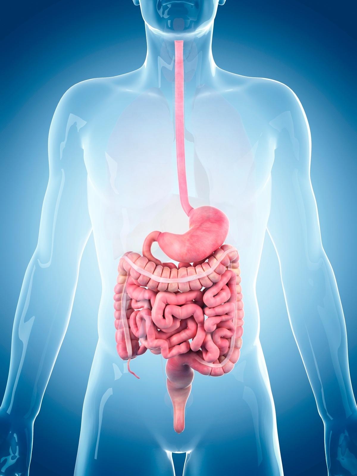 tubo intestinal