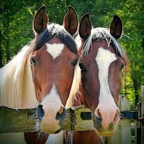 The Pinto's by Sue Delia - Animals Horses ( two, horses, mare's, pinto, arabian,  )