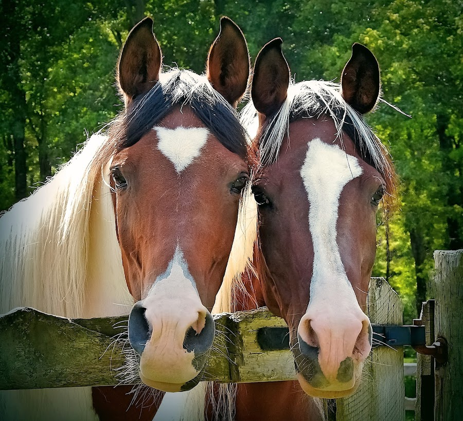 The Pinto's by Sue Delia - Animals Horses ( two, horses, mare's, pinto, arabian,  )