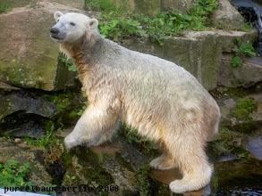 Photo: Knut schaut nach, wo sein Ball bleibt ;-)