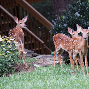 3 Fawns  by Ashley Ellis - Animals Other Mammals ( spots, animals, sweet, fawns, nature, grazing, grass, eating, baby, fawn, cute, deer,  )