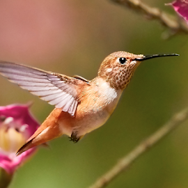 HummerFun ~ 99924 by Raphael RaCcoon - Animals Birds