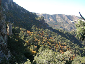 Photo: Fall color of Graves Oak on the slopes below Emory Peak.