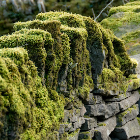 Mossy Stone Wall  by Doug Faraday-Reeves - Nature Up Close Rock & Stone ( countryside, dry stone, moss, stone, wall )