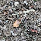 Common gartersnake