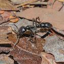 Tocandira / Giant Amazon Ant