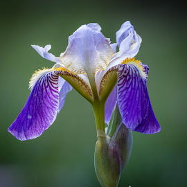 Droopy Dog Iris by Chad Roberts - Flowers Single Flower ( purple, chad roberts, chadseyes, iris, image, chadroberts.blogspot.com, droopy dog, landscape, garden, spring, flower, photography )