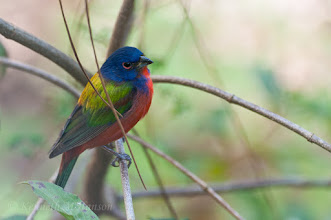 Photo: Painted bunting - Corkscrew Swamp Sanctuary