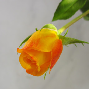 by Prerna  R - Nature Up Close Flowers - 2011-2013 ( yellow rose, vivid rose, rose close up, budding rose, orange rose )
