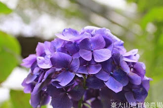 Photo: 拍攝地點: 梅峰-溫帶花卉區 拍攝植物: 繡球花 拍攝日期: 2014_08_18_FY