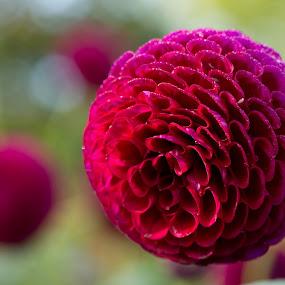Dark Pink Daisy by Merina Tjen - Lim - Nature Up Close Flowers - 2011-2013 ( daisy; balls; dahlia; pink; red; purple )
