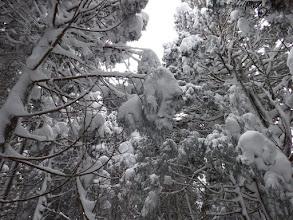 凍てつく樹木2