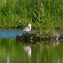 Photo: Forster's Tern