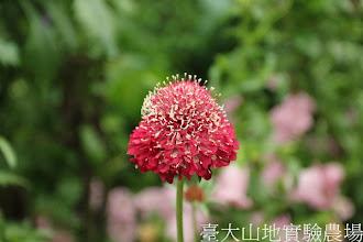 Photo: 拍攝地點: 梅峰-溫帶花卉區 拍攝植物: 松蟲草 拍攝日期:2012_07_30_FY