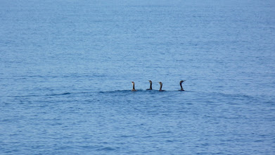 Photo: These are Shags - not Cormorans