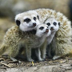 Meerkat Cuddle by E.g. Orren - Animals Other Mammals ( babies, wildlife, meerkat, mammal, animal,  )
