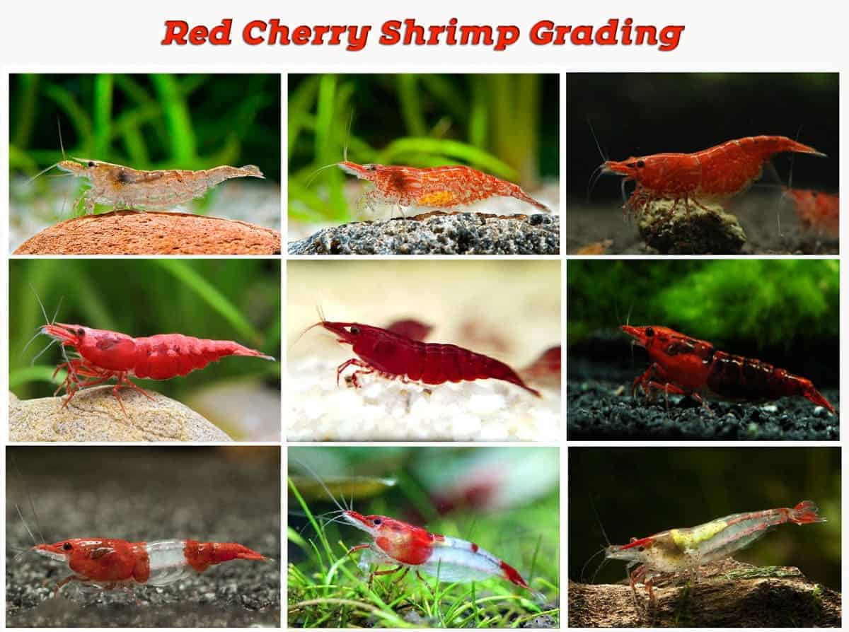 red cherry shrimp grading