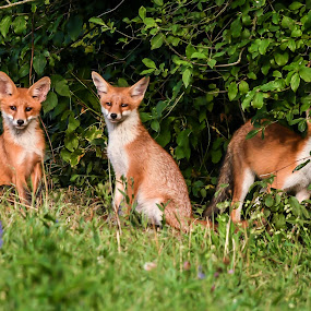 Foxes by Andrej Kozelj - Animals Other Mammals ( wild, animals, fox, grass, green, beautiful, wildlife, young, cub, family, peace, three, animal )