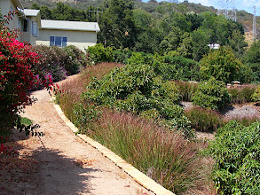 Photo: This service road was being undermined by runoff during intense rainfall events in the Carpinteria foothills . The vetiver has completely stabilized the bank of the road. These thick vetiver hedges provide excellent habitat for local fauna, as well providing a home for birds and many beneficial insects. from a landscaping view it softens the edge of an otherwise rather stark road edge.