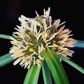 Bunga rumput by Oengkas Wijaya - Instagram & Mobile Android ( macro, naturaleza, macro photography, makro, nature photography )