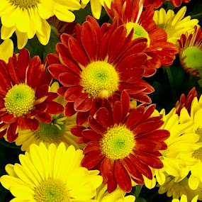 Red and yellow flowers. by Peter DiMarco - Flowers Flower Arangements ( flowers, daisies, yellow flower, flower, red flower )