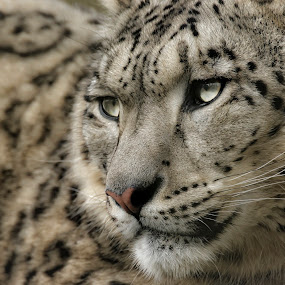 Eyes of the Leopard by Chris Boulton - Animals Lions, Tigers & Big Cats ( big cat, cat, marwell, leopard, snow leopard, animal )