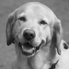 Ripley in Grey by Chrissie Barrow - Black & White Animals ( mono, labrador, monochrome, animal, dog, grey )