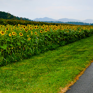 Sunflower Field 2011_panorama PROJECTED FOR SUBMISSION.jpg