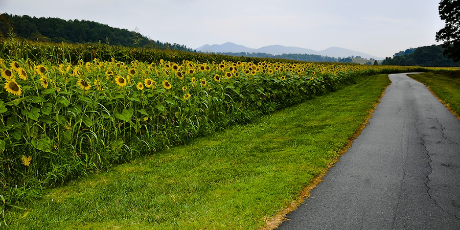 Sunflower Field by Ronald Park - Nature Up Close Flowers - 2011-2013