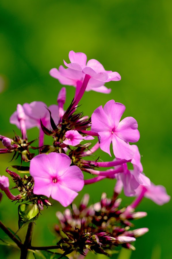 Pink Flowers by Emil Gunnary - Flowers Flower Gardens ( nature, nikon d-3200, plants, flower gardens, nikon, photography )