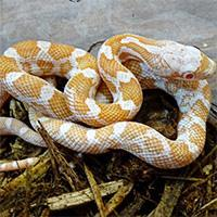 Image result for Albino Texas Rat Snake