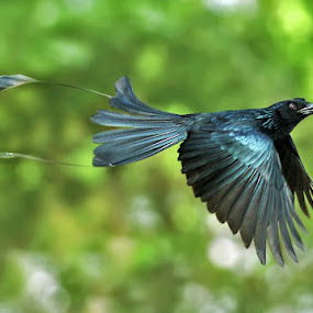 flying somewhere by Yan Abimanyu - Animals Birds