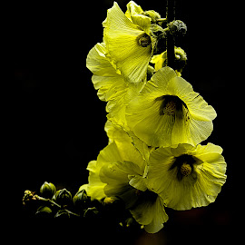 Mullein by Krishna Murukutla - Flowers Flowers in the Wild ( nature, portraits, flowers, mullein, closeup,  )
